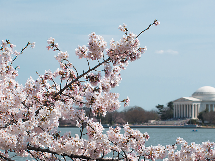 Photo of Cherry Blossoms by the Tidal Basin